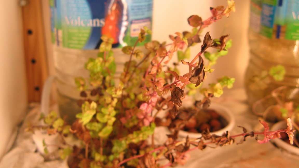 Projects update : learning from mistakes(1) – Hydroponics